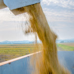 raccolta-grano